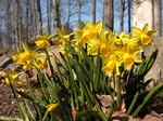 Narcissus cyclamineus TETE A TETE